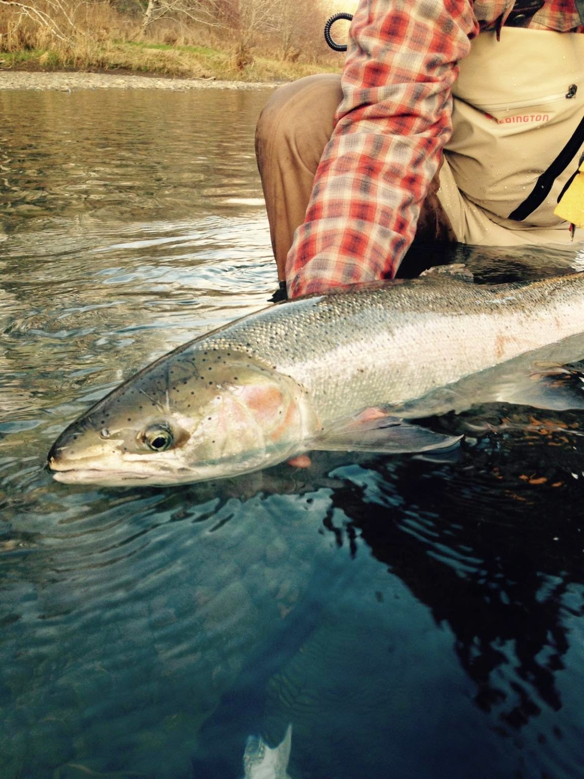WINTER STEELHEAD REPORT  2/17/15