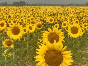 Sunflower:)
